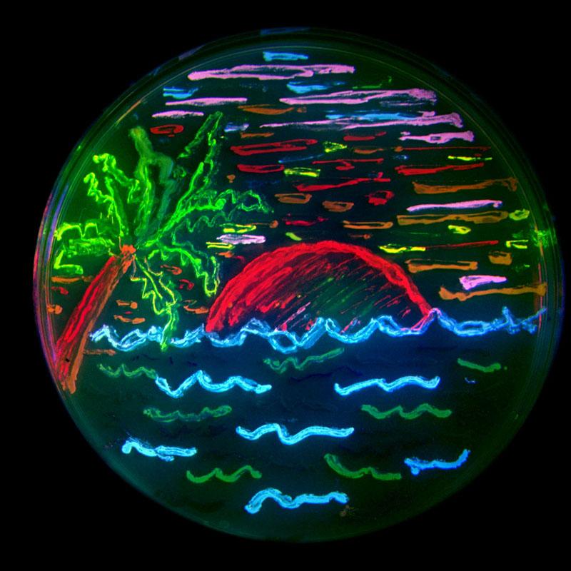 Bakterier som producerat fluorescerande protein i åtta olika färger.